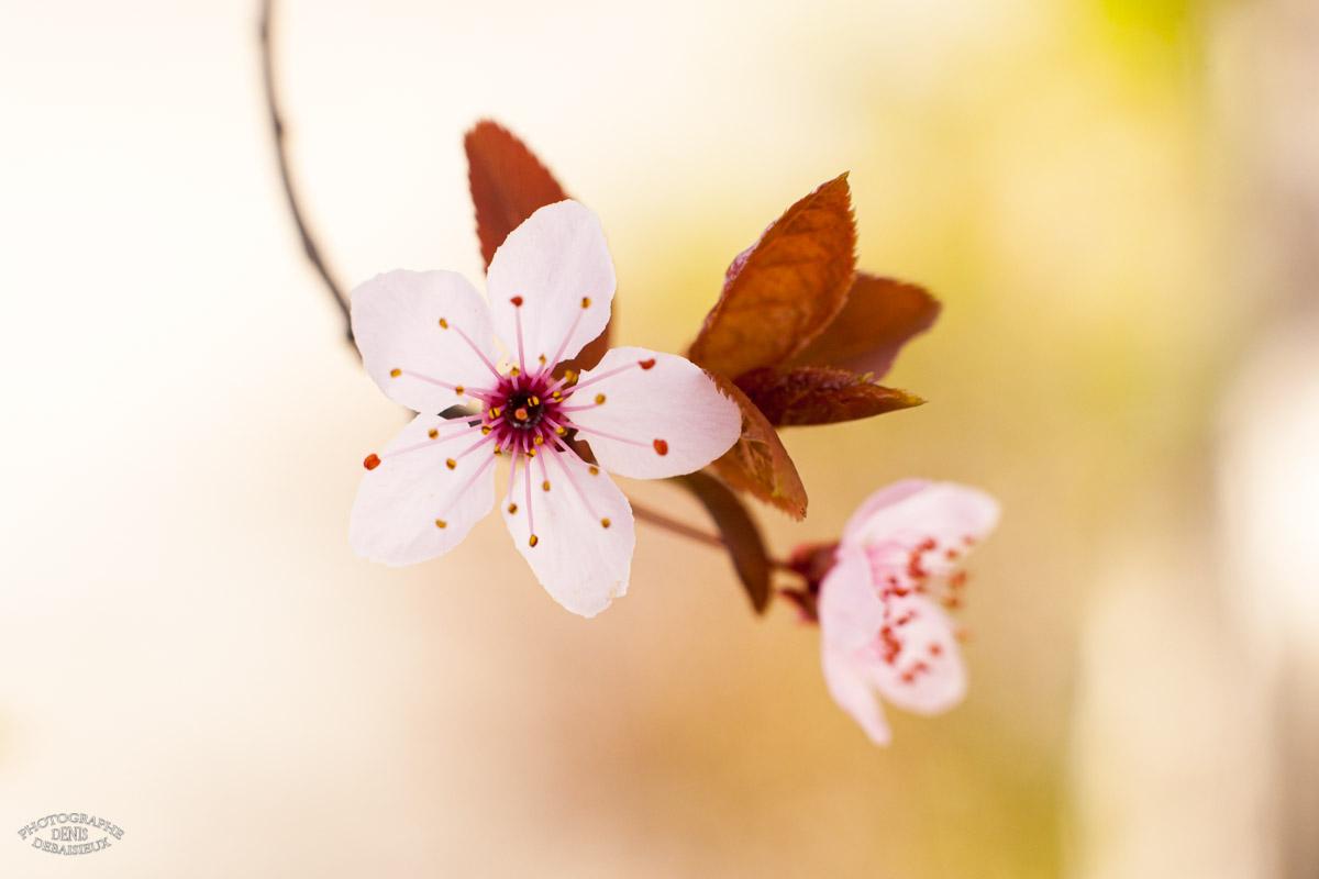 Fleurs de prunus